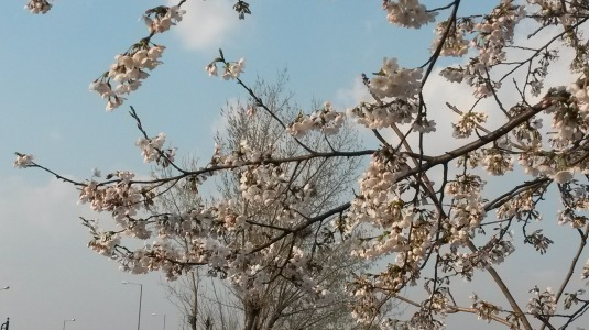 Cherry blossoms at Yeouinaru