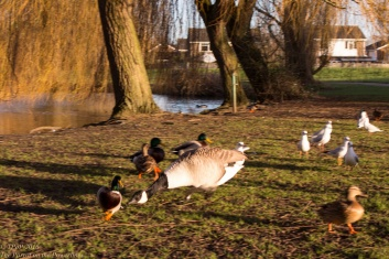 Angry goose chase