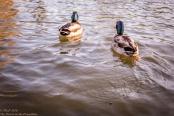 Colchester ducks