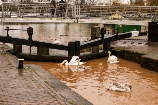 Stratford swans